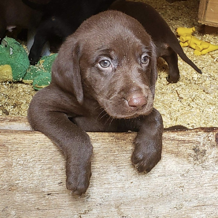 Cameron Rhode's puppy, Reece. He is 6 weeks old  and was born in Rock Rapids, Iowa.
