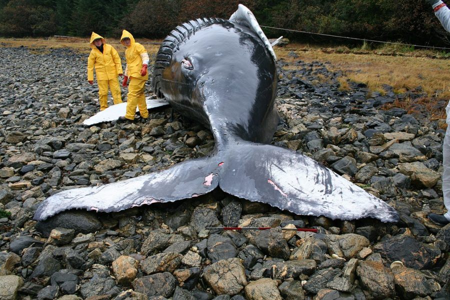 The+%22Blue+Whale%22+challenge+is+named+after+cetacean+stranding%2Ca+phenomenon+in+which+whales+commit+suicide+by+forcing+themselves+onto+shore.