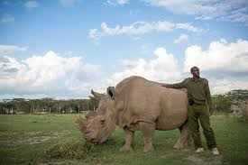 Northern white rhinos are on the brink of extinction