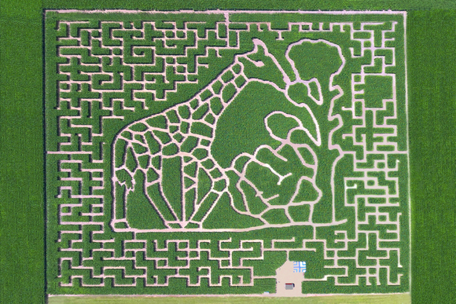 Changing annually, the Heartland County Corn Maze has sculpted a giraffe into this year's 2020 maze.